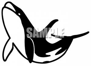 Killer Whale Swimming Upwards