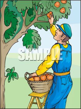 Man Picking Oranges
