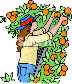 woman picking oranges royalty free clip art illustration rh clipartguide com apple picking basket clipart apple picking clipart free