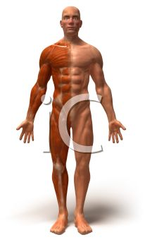 Front View of a 3D Male Anatomy Model