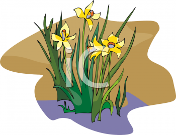 Several Daffodil Blossoms