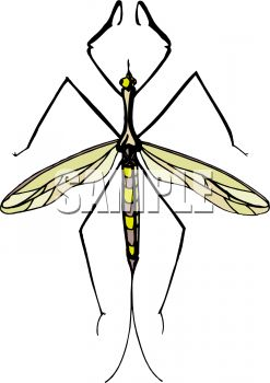 Mosquito Hawk or Crane Fly