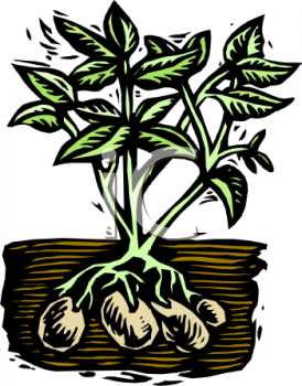 Potato Plant with the Potatoes Visible Under the Soil