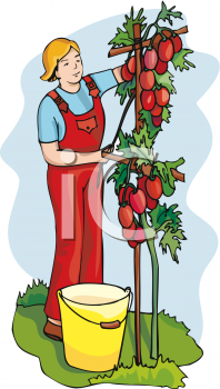 Person Picking Ripe Tomatoes from the Vine