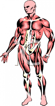Male Human Muscle System Diagram