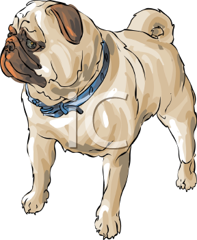 Realistic pug dog drawing
