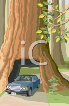 Car driving through a giant sequoia tree or redwood tree in California