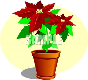 Potted Poinsettia for Christmas