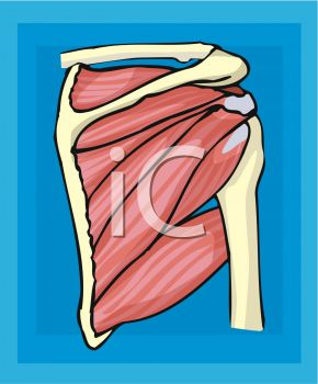 Human Body Muscles Chest Wall