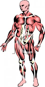 Human Body Muscles Diagram on a Male