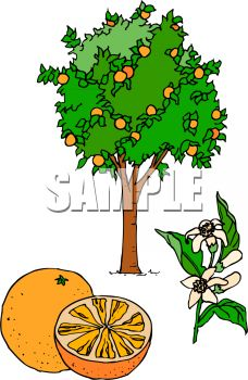 Grapefruit Tree with Flowers and a Grapefruit