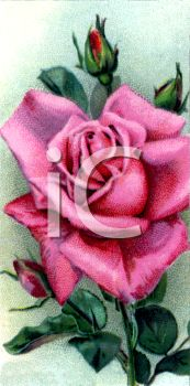 picture of a pink blooming rose and rosebuds in a vector clip art illustration