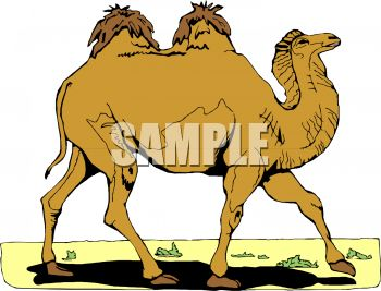 picture of a camel walking in a vector clip art illustration