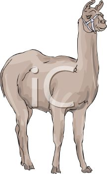 picture of a llama standing and staring in a vector clip art illustration