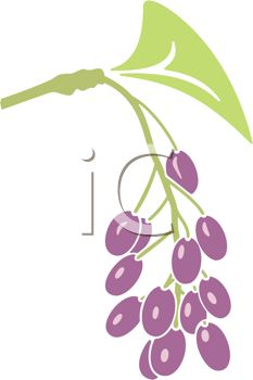picture of purple grapes on a vine in a vector clip art illustration