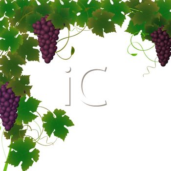 picture of clusters of grapes on the vine in a vector clip art illustration