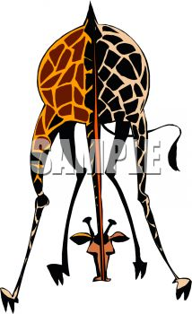 Picture of an adult giraffe bending down to the ground in a vector clip art illustration