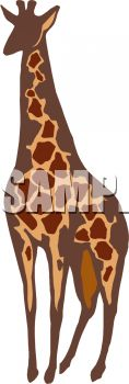 picture of an adult giraffe on a white background in a vector clip art illustration