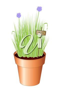 Flowering Chives in a Pot