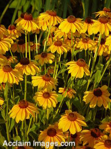 Stock Photo of Brown Eyed Susan Flowers