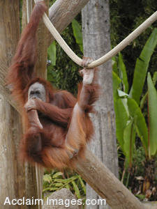 Stock Photo of an Orangutan Hanging from a Rope