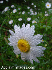 Stock Photography of Daisies