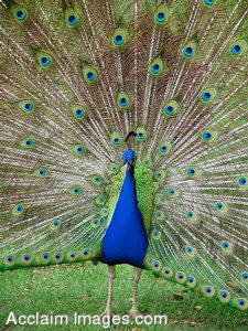 Stock Photography  of a Peacock