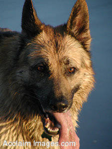 Stock Photography  of a German Shepherd