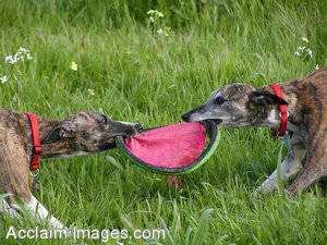 Stock Photo of Two Whippets Playing Tug-Of-War