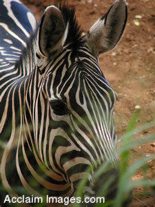 Stock Photography of a Zebra