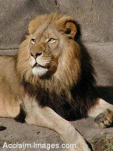 Stock Photography of a Lion