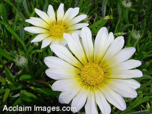 Stock Photography of White Daisy Flowers