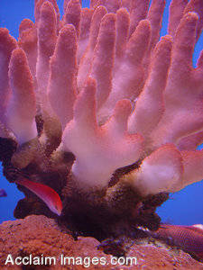 Stock Photography of Coral