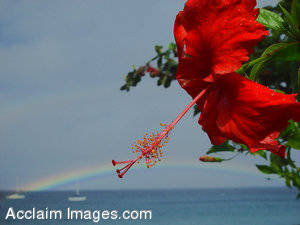 Stock Photography Red Hibiscus Flowers in Hawaii