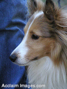 Picture of a Sheltie Dog