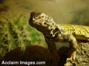 Picture of a Monitor Lizard
