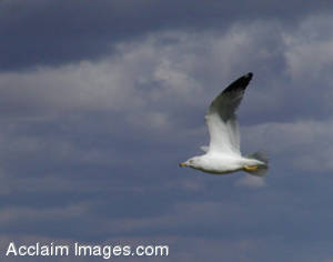Picture of a Seagull in Flight