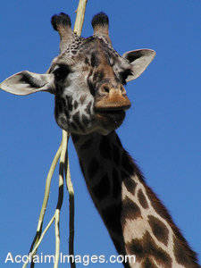 Picture of a Charming Giraffe