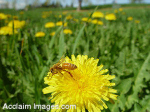 Stock Photo of  a Bee on a Dandelion