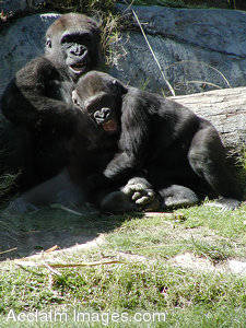 Picture of Two Gleeful Gorillas