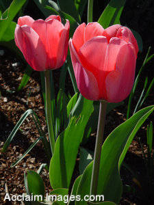 Stock Photo of Two Pink Tulips