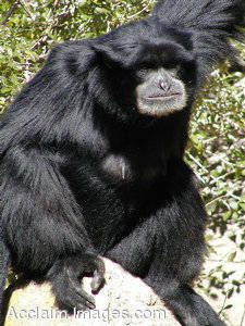 Picture of an Island Siamang Gibbon