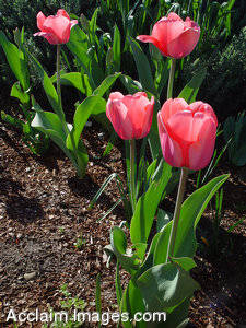 Stock Photo of Four Pink Striped Tulips