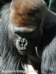 Picture of a  Curious Gorilla