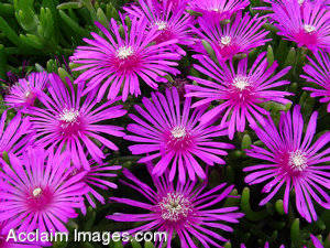 Picture of Purple Flowers