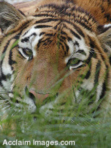 Stock Photography: Picture of a Tiger Watching Through the Grass