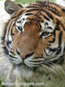 picture of a Bengal Tiger