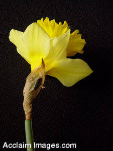 Picture of a Daffodil