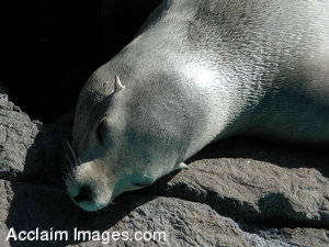 Picture of a Sleepy Sea Lion