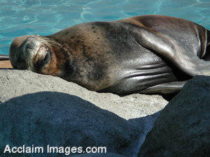 Picture of a Seal Resting